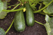 Courgettesoep met garnalen en/of kip recept